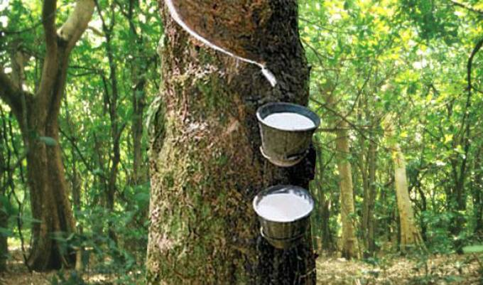 Image result for rubber farming