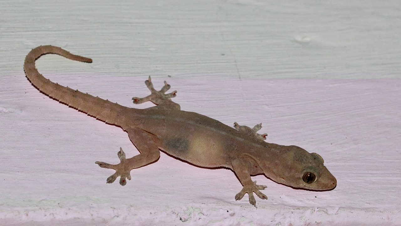 House Gecko How To Get Rid Of Common House Geckos