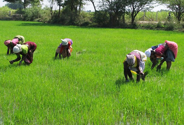 45,000 rice farmers to benefit from anchor borrowers loan in Katsina
