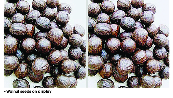 Creating wealth through walnut farming – The Sun Nigeria