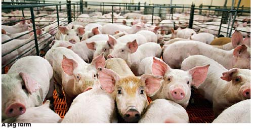 Lagos pig farmers lose N12.125bn to African Swine Fever in 4 months - Daily Sun